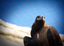 Aigle rêvant de la liberté Photos stock