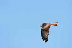 Aigle rouge de cerf-volant Image libre de droits