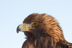 Aigle royal Photos stock