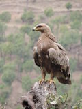 Aigle sauvage indien Photo libre de droits