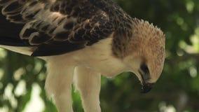 Aigle sauvage mangeant de la viande de la proie Fin vers le haut de l'aigle de serpent picotant la proie Oiseau prédateur Animal  banque de vidéos