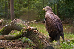 Aigle sur le branchement Photo stock