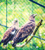 aigles photo libre de droits