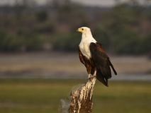 Aigles africains Images stock