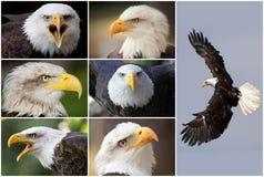 Aigles chauves photo stock