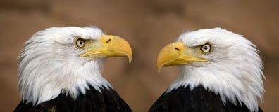 Aigles chauves américains photographie stock libre de droits