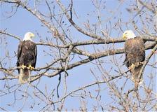 Aigles chauves de mâle et de femail donnant sur le lac photo stock