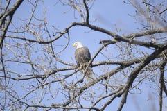Aigles chauves femelles donnant sur le lac images stock