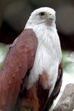Aigles de Javanese photos libres de droits
