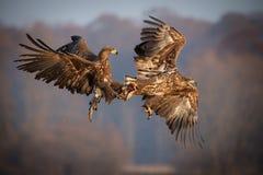 aigles de mer Blanc-coupés la queue combattant au-dessus de la nourriture photo stock