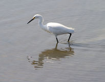 Aigrette Stock Foto's