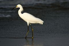 Aigrette Stock Foto