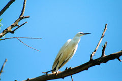 Aigrette Royalty Free Stock Photography