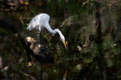 Aigrette Royalty-vrije Stock Foto's