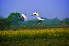 Aigrette flying three birds white sky wild life. Aigrettr aigrette flying three birds white sky wild life stock photo