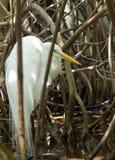 Aigrette in mangroven Royalty-vrije Stock Afbeeldingen