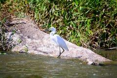 Aigrette op de rivier Stock Foto's