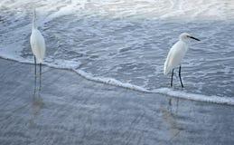 Aigrettes op de kust Royalty-vrije Stock Foto