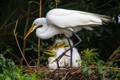 Aigrettes op Nest Stock Foto