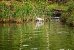 Aigrettes in Ropotamo-rivier Royalty-vrije Stock Fotografie
