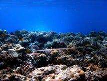 aiguille de mer Photos libres de droits