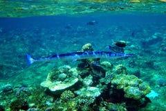 Aiguille de mer de crocodile Images stock
