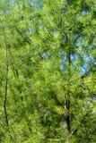 Aiguilles blanches de pin Images libres de droits