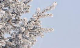 Aiguilles congelées de pin photographie stock