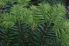Aiguilles d'arbre de sapin Photo libre de droits