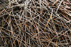 Aiguilles de couleur orange se trouvant au sol avec le pin Photos stock