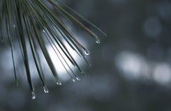 Aiguilles de pin avec des gouttelettes d'eau photo libre de droits