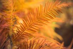 Aiguilles de pin d'automne, Norfolk, Angleterre, R-U Photos stock