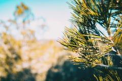 Aiguilles de pin dans la nature photos stock