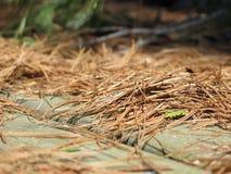 Aiguilles de pin sur le dock Images stock