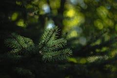 Aiguilles de sapin à la lumière du soleil Photos stock
