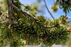 Aiguilles de Speuce sur la traînée supérieure de boucle de Bristlecone, Mt Charleston, Nevada image libre de droits