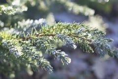 Aiguilles et feuilles congelées de pin Photo libre de droits