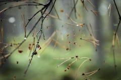 Aiguilles et rosée de pin en Web dans la forêt calédonienne en Ecosse photos libres de droits