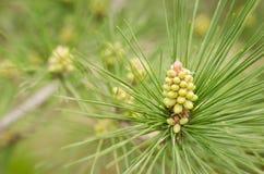 Aiguilles vertes sur une branche de pin Bosse fraîche sur une branche de pin Fond naturel de sapin Image stock