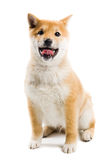 Aiko. Happy Shiba Inu puppy over white Royalty Free Stock Image