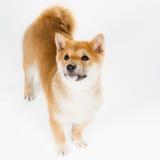 Aiko. Cute Shiba Inu puppy over white Royalty Free Stock Photo