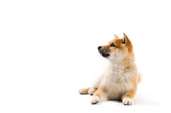 Aiko. Cute Shiba Inu puppy on a white background Royalty Free Stock Images