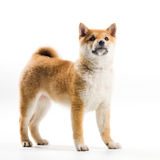 Aiko. Cute Shiba Inu puppy on a white background Royalty Free Stock Image