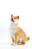 Aiko. Cute Shiba Inu puppy on a white background Royalty Free Stock Photography