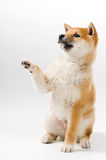 Aiko. Cute Shiba Inu puppy asking for a treat stock image