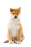 Aiko. Cute Shiba Inu puppy on white background royalty free stock photo