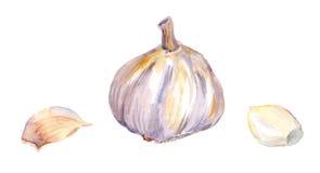 Ail avec des pièces watercolor illustration de vecteur