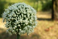 Ail blanc et vert fleurissant Photographie stock