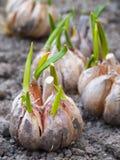 Ail de germination sur la terre Photos libres de droits