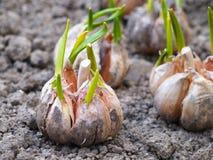 Ail de germination sur la terre Photographie stock libre de droits